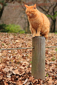 Stray cat, ginger tabby, sleeping on post in park. Kyoto, Japan. - Aflo