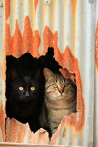 Stray cats, on black and one tabby, peering out of hole in rusty corrugated iron. Chiyoboinari Shrine, Kaizu, Japan. - Aflo