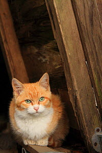Stray cat, ginger and white patched tabby, Chiyoboinari Shrine, Kaizu, Japan. - Aflo