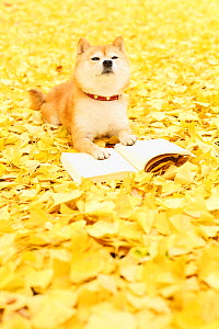 Shiba inu portrait with book in park with autumn leaves on ground.  -  Aflo
