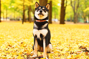 Shiba inu portrait in park with autumn leaves on ground. - Aflo
