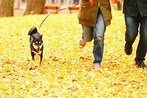 Shiba inu on walk with owners in park with autumn leaves on ground. - Aflo