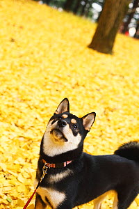 Shiba inu on lead in park with autumn leaves on ground. - Aflo