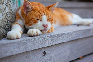 Stray cat, ginger and white patched tabby, Kanagawa, Japan. - Aflo