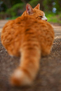 Stray cat, ginger tabby, view of tail, Kanagawa, Japan. - Aflo