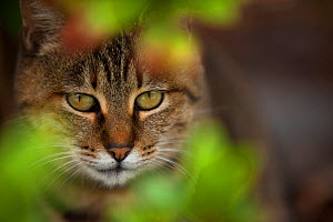 Stray tabby cat staring out of leaves, Kanagawa, Japan. - Aflo