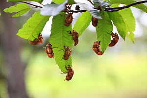 Large brown cicadas (Graptopsaltria nigrofuscata) on leaves, Tokyo, Japan. August. - Aflo