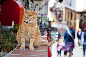 Ginger tabby cat on wall, Mijas, Spain  -  Aflo
