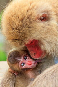 Japanese macaque (Macaca fuscata) mother cuddling baby, Yamanouchi, Shimotakai District, Nagano Prefecture, Japan. June.  -  Aflo