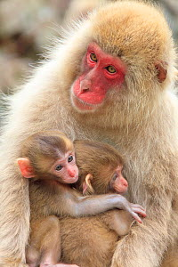 Japanese macaque (Macaca fuscata) mother with two babies, Yamanouchi, Shimotakai District, Nagano Prefecture, Japan. June. - Aflo