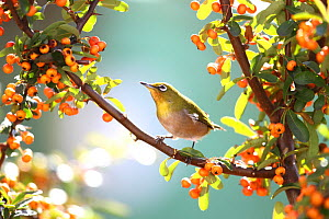 Japanese White Eye (Zosterops japonicus) in tree, Tokyo, Japan.  -  Aflo