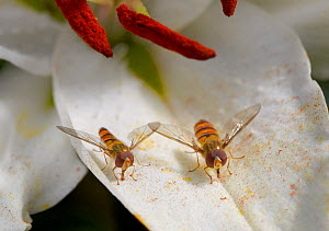 Marmalade hoverflies (Episyrphus balteatus) feeding on fallen lily pollen, England, UK. August. - Stephen  Dalton