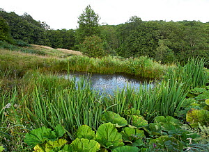 Small Sussex weald pond rich in plant and invertebrate life. Sussex, England, UK. August.  -  Stephen  Dalton