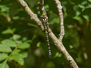 Southern hawker dragonfly (Aeshna cyanea) Sussex, England, UK. June.  -  Stephen  Dalton