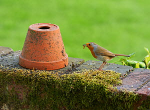 Robin (Erithica rubecula) with grub and flowerpot in garden, Sussex, England, UK. April.  -  Stephen  Dalton