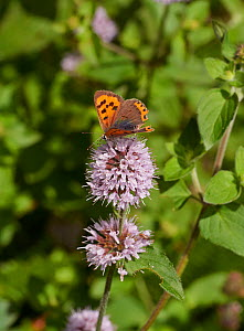 Small copper butterfly (Lycaena phlaeas) on Water mint flower, Sussex, England, UK. August.  -  Stephen  Dalton