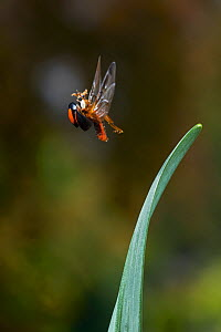 Harlequin ladybird (Harmonia axyridis) in flight, invasive species, England, UK. March.  -  Stephen  Dalton