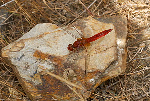 Red-veined darter dragonfly (Sympetrum fonscolombii) on rock, Menorca. May.  -  Stephen  Dalton