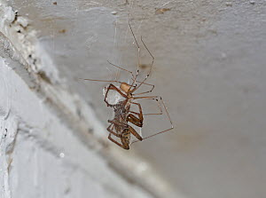 Daddy-long-legs spider (Pholcus phalangioides) with prey, a large housespider, Sussex, England, UK. July. - Stephen  Dalton