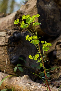 Wood spurge (Euphorbia amygdaloides) growing in woodland, Sussex, England, UK. April.  -  Stephen  Dalton