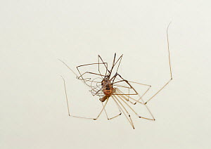 Daddy-long-legs-spider (Pholcus phalangioides) feeding on harvestman. Sussex, England, UK. July. - Stephen  Dalton
