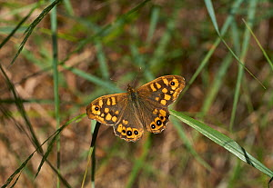 Sprckled wood butterfly (Pararge aegeria) European form, Menorca. May.  -  Stephen  Dalton