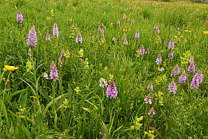 Meadow with Common spotted orchids (Dactyloriza fuchsii) and Yellow Rattle (Rhinanthus minor) Sussex, England, UK. May. - Stephen  Dalton