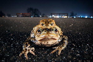 Common toads (Bufo bufo) in amplexus, Bristol, UK, March. - Sam Hobson