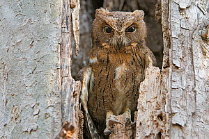 Madagascar scops owl (Otus rutilus) in tree cavity, Kirindy Forest, Madagascar.  -  Bernard Castelein