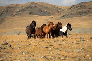 Band of wild Mongolian horses running on plains at the foot of Dungurukh Uul mountain, near the border with China and Kazakhstan, Bayan-Olgiy aymag, Mongolia. September.  -  Kristel  Richard