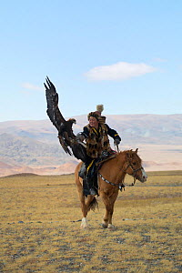 Golden eagle (Aquila chrysaetos) female landing to catch lure held by her owner, an eagle hunter, during the competitions of the Eagle Hunters Festival, near Sagsai, Bayan-Ulgii Aymag, Mongolia. Septe...  -  Kristel  Richard