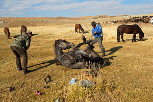 Two horse breeders tying Mongolian horse to shoe him, at the foot of Dungurukh Uul mountain, near the border with China and Kazakhstan, Bayan-Olgiy aymag, Mongolia. September. - Kristel  Richard