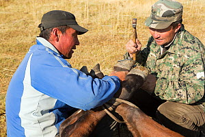 Two horse breeders shoeing Mongolian horse, at the foot of Dungurukh Uul mountain, near the border with China and Kazakhstan, Bayan-Olgiy aymag, Mongolia. September 2014..  -  Kristel  Richard