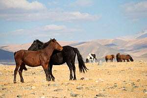 Two wild Mongolian horses grooming one another, plains at the foot of Dungurukh Uul mountain, near the border with China and Kazakhstan, Bayan-Olgiy aymag, Mongolia. September.  -  Kristel  Richard