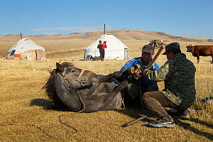 Two horse breeders shoeing Mongolian horse lieing down at the foot of Dungurukh Uul mountain, near the border with China and Kazakhstan, Bayan-Olgiy aymag, Mongolia. September 2014..  -  Kristel  Richard