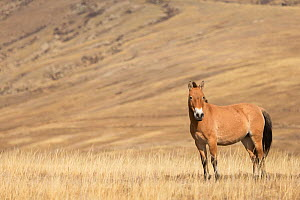 Przewalski / Takhi Horse (Equus ferus przewalskii) breeding stallion stands alert, Hustai National Park, Tuv Province, Mongolia. Endangered species. September.  -  Kristel  Richard