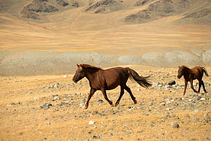Wild Mongolian mare and her foal trotting, plains at the foot of Dungurukh Uul mountain, near the border with China and Kazakhstan, Bayan-Olgiy aymag, Mongolia. September.  -  Kristel  Richard