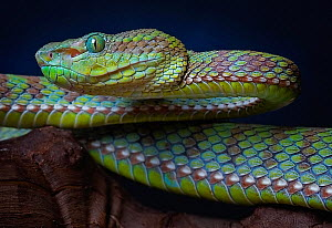 Pope�s tree viper (Trimeresurus popeorum) captive occurs in Asia. Small reproduction only. - Michael  D. Kern