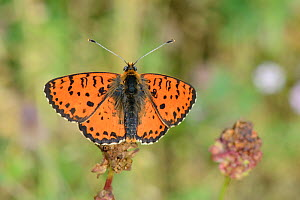 Spotted fritillary butterfly (Melitaea didyma) sunning in an alpine meadow, Durmitor National Park, Montenegro, July.  -  Nick Upton