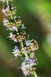 Plasterer bee (Colletes eous) feeding on Spearmint flowers (Mentha spicata), Kilada, Greece, August.  -  Nick Upton