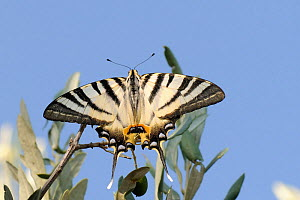 Scarce swallowtail butterfly (Iphiclides podalirius), resting on an Olive tree, Ancient Epidavros, Peloponnese, Greece, August.  -  Nick Upton