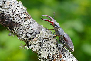 Male Stag beetle (Lucanus cervus) climbing a lichen covered branch in deciduous woodland, near Foca, Bosnia and Herzegovina, July. - Nick Upton
