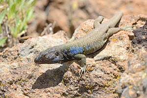 Male Tenerife lizard / Western Canaries lizard (Gallotia galloti) basking on volcanic lava rock, Teide National Park, Tenerife, May.  -  Nick Upton