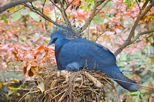 Victoria crowned pigeon (Gouria victoria) on nest, captive in aviary, occurs in New Guinea. Endangered species.  -  Nick Upton