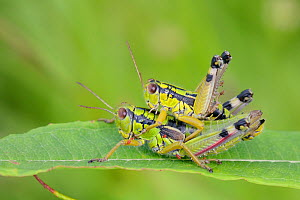Mating pair of Green mountain grasshoppers / Alpine grasshoppers (Miramella alpina) mating, in alpine meadow, with some parasitic mites (Eutrombidium sp.) on the female, Sutjeska Park, Bosnia and Herz...  -  Nick Upton