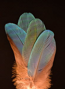 Feathers of a Catalina macaw (Blue-and-yellow macaw x Scarlet macaw hybrid) - Michael  D. Kern
