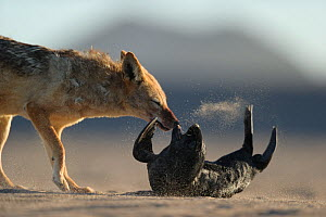 Black backed jackal (Canis mesomelas) attacking Cape fur seal (Arctocephalus pusillus) pup, Sperrgebiet National Park, Namibia, December. Sequence 3/6 - Solvin Zankl