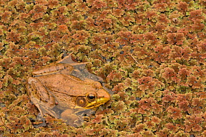 Green frog (Rana clamitans), Washington DC, USA, September.  -  John Cancalosi