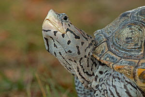 Diamondback terrapin (Malaclemys terrapin), Washington DC, USA. Captive  -  John Cancalosi