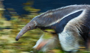 Giant anteater (Myrmecophaga tridactyla), Copenhangen Zoo, Denmark, Europe. Captive, originating from Central and South America. - Juan  Carlos Munoz